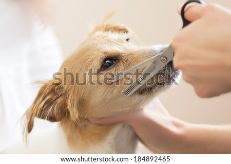 Hairdresser mows Jack Russell Terrier fur on the head with a scissors - stock photo