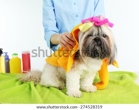 Hairdresser towel Shih Tzu dog in barbershop, isolated on white - stock photo