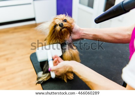 Hairdryer styling. Yorkshire terrier stands on the table while being processed by hairdrying machine.
