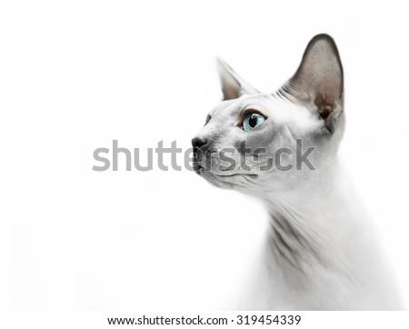 Hairless cat sphinx portrait - stock photo