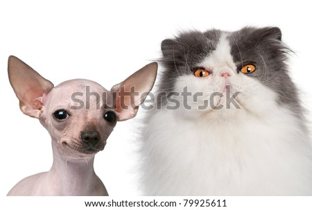 Hairless Chihuahua, 5 months old and a Persian cat, 9 years old, in front of white background - stock photo