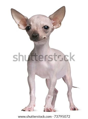 naked chihuahua hairless chihuahua 5 months old standing in front of 245