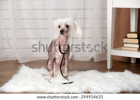 Hairless Chinese crested dog with stethoscope in room - stock photo