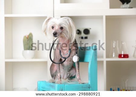 Hairless Chinese crested dog with stethoscope on chair in laboratory