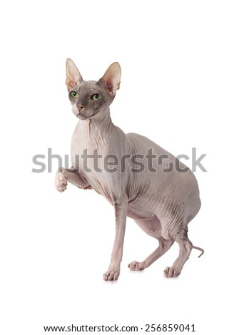 Hairless Don Sphinx cat isolated white background