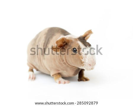 hairless guinea pig on a white background - stock photo