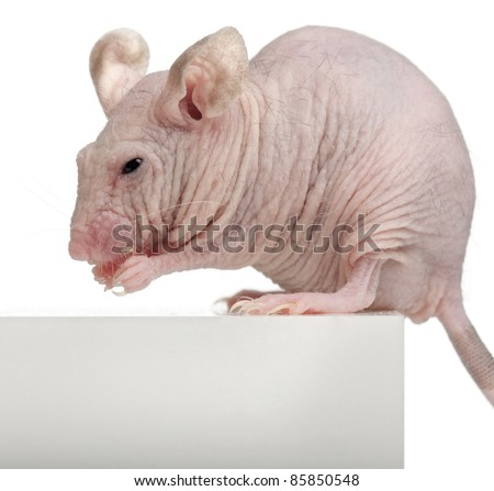 Hairless House mouse, Mus musculus, 3 months old, sitting on box in front of white background - stock photo