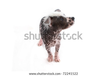 Hairless Mexican Dog looking up - stock photo