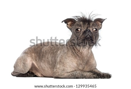 Hairless Mixed-breed dog, mix between a French bulldog and a Chinese crested dog, lying and looking at the camera in front of white background - stock photo