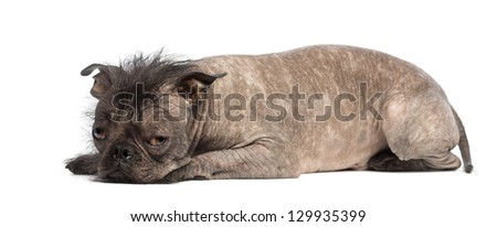 Hairless Mixed-breed dog, mix between a French bulldog and a Chinese crested dog, lying and looks sad in front of white background - stock photo