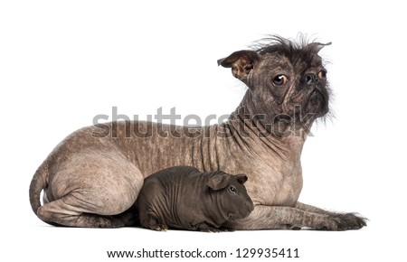 Hairless Mixed-breed dog, mix between a French bulldog and a Chinese crested dog, lying with a hairless guinea pig in front of white background - stock photo