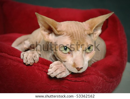 hairless sphynx cat - stock photo