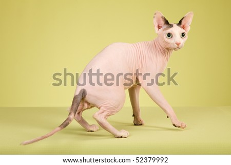Hairless Sphynx cat on green background fabric