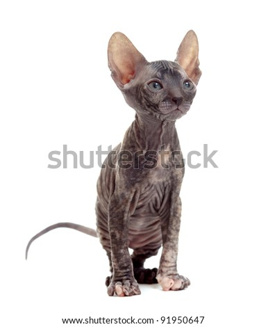 hairless sphynx kitten - stock photo