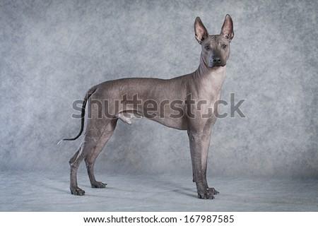 Hairless xoloitzcuintle male dog against grey background  - stock photo