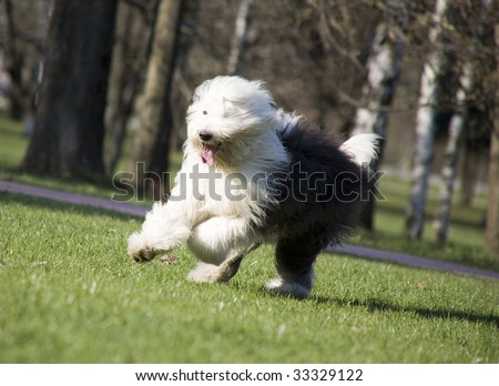 Hairy bobtail (old English sheepdog) running in park - stock photo