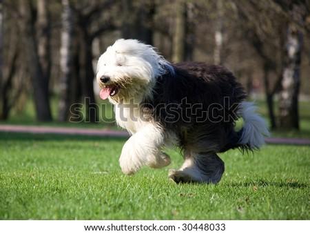 Hairy bobtail running in park - stock photo