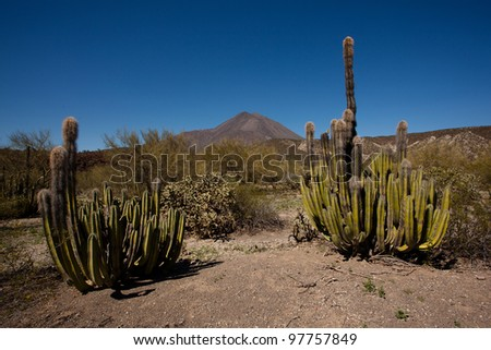 Hairy cactuses and volcano in the desert of Baja California, Mexico