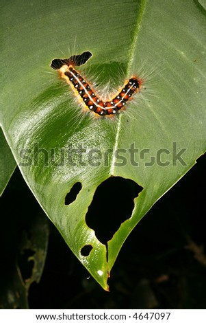Hairy caterpillar on a leaf in the Amazon rainforest - stock photo