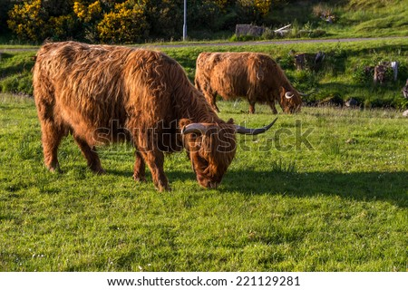 Hairy cow. Highland cattle are a Scottish breed of cattle with long horns and long wavy coats which are coloured black, brindled, red, yellow or dun.