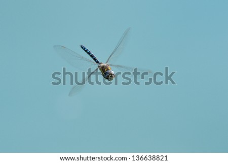 Hairy dragonfly flying