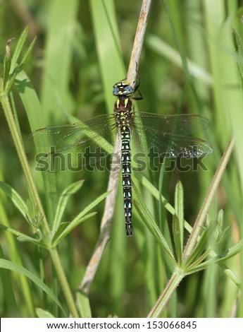 Hairy Dragonfly with wings spread, resting on leaf stems.
