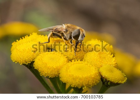 Hairy fly collects pollen on the flowers of celandine. Macro.