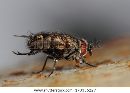 Hairy fly with water droplets