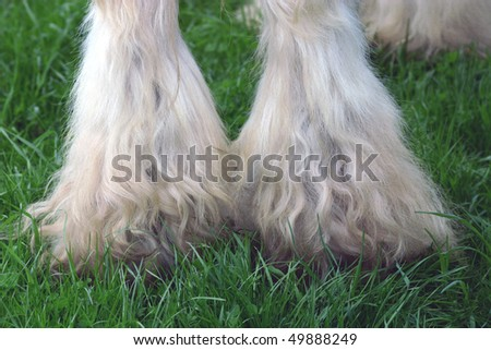 hairy legs of an Irish Cob - stock photo