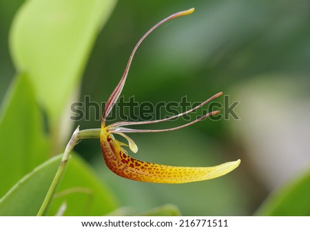 Hairy Tongued Restrepia Orchid - Restrepia trichoglossa From the cloud forest of Panama, Colombia, Peru and Ecuador at elevations of 300 to 3200 meters - stock photo