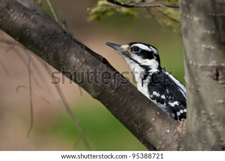 Hairy Woodpecker Crouched in a Tree - stock photo