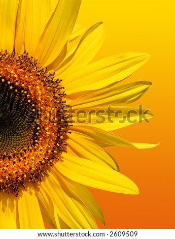 Half a sunflower isolated on a gradient yellow and orange background. - stock photo