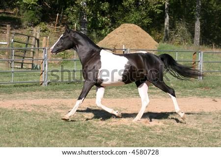 half arabian paint horse running/trotting in arena - stock photo