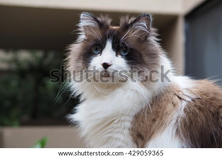 Half Body Portrait of Regal Long Hair Bi Color Brown White Ragdoll Cat with Blue Eyes and Black Button Nose and Long Whiskers Sitting on Ledge  - stock photo