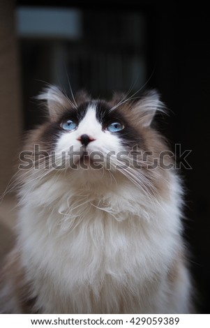 Half Body Portrait of Regal Long Hair Bi Color Brown White Ragdoll Cat with Blue Eyes and Black Button Nose and Long Whiskers Sitting on Ledge Looking Up - stock photo