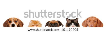 Half close up portraits of 3 dogs and 2 cats in front on white isolated background