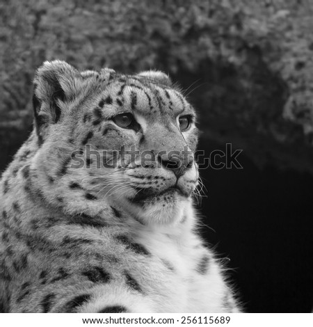 Half face portrait of a snow leopard, one of the most beautiful animal of the world. Grace pose of the big cat on rocky background. Black and white square image.  - stock photo