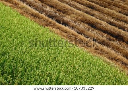 Half harvested Paddy field - stock photo
