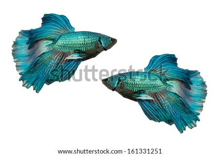 Half Moon fighting fish isolated on white background - stock photo