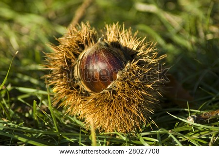 Half open chestnut lying in the grass