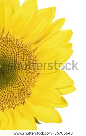 Half segment of a flowering sunflower - stock photo