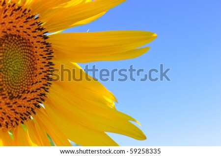 half segment of a flowering sunflower a sky background - stock photo