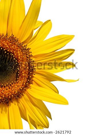 Half segment of a flowering sunflower against white. - stock photo