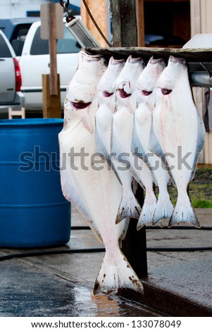 Halibut catch of the day in Homer Alaska - stock photo