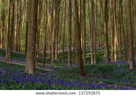 Hallerbos - Woods covered with a blanket of wild bluebells. - stock photo