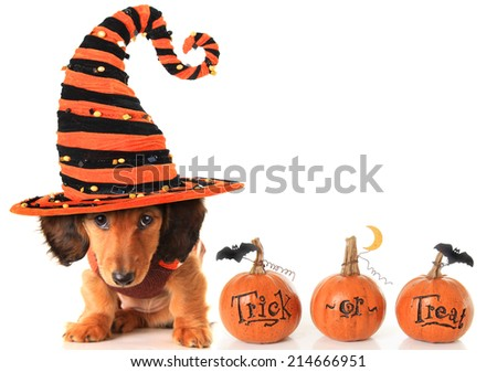 Halloween dachshund puppy wearing a Halloween witch hat plus pumpkins. - stock photo