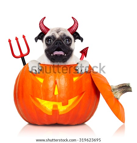 halloween devil pug dog inside pumpkin, scared and frightened, isolated on white background - stock photo