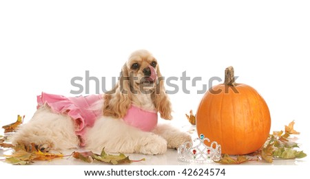 halloween dog - american cocker spaniel dressed up as a princess laying down beside pumpkin