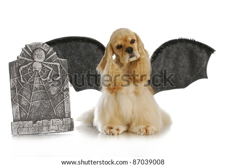 halloween dog - cocker spaniel wearing bat wings sitting beside tomb stone on white background - stock photo