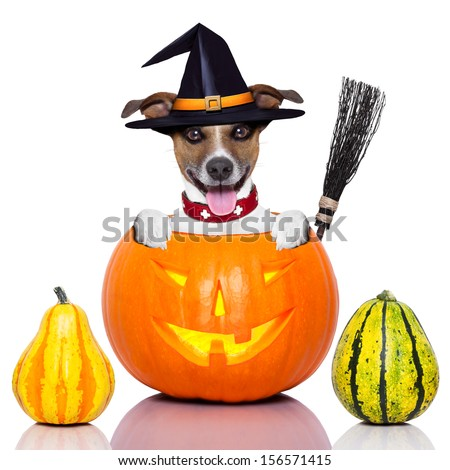 halloween dog inside a pumpkin looking spooky with  a witch broom - stock photo